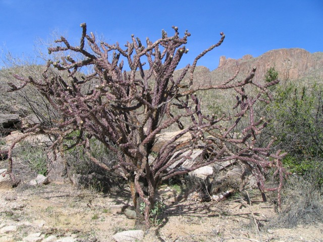 cactus-cholla2